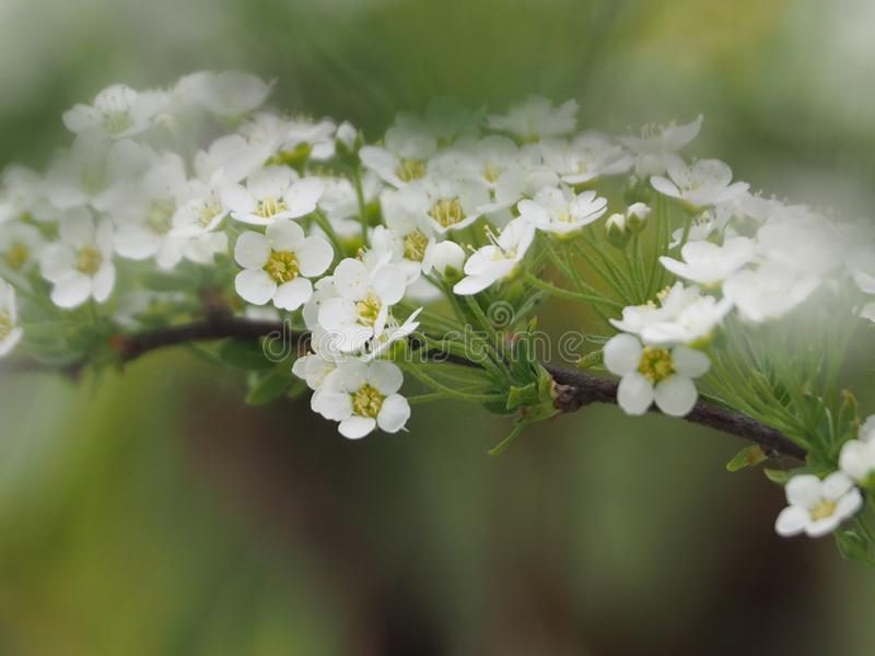 Gråa Spirea, härlig filial med vita blommor royaltyfria bilder