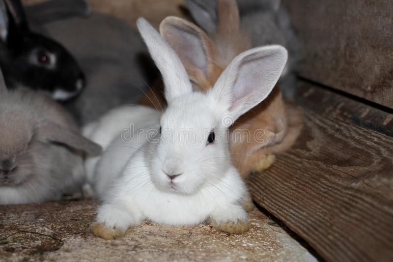 Gråa vita svarta kaniner i en bur på den levande lantgården royaltyfri fotografi