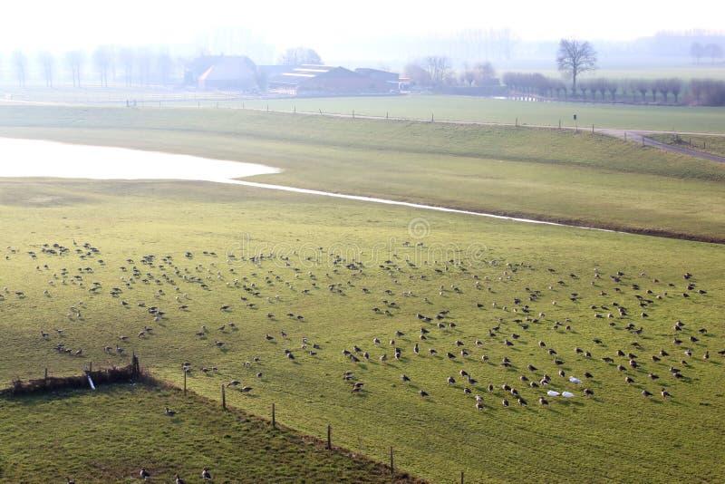 Grågåsgäss i det holländska flodlandskapet, Brummen royaltyfri fotografi