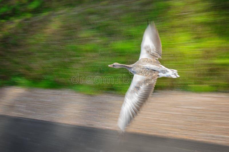 Grågåsgås i snabb flyghastighet fotografering för bildbyråer