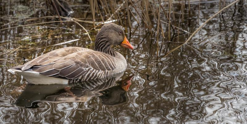 Grågåsgåsen som är vetenskaplig namnger anseranseren, flöten i vassbältet och reflekterar i vattnet av sjön royaltyfri fotografi