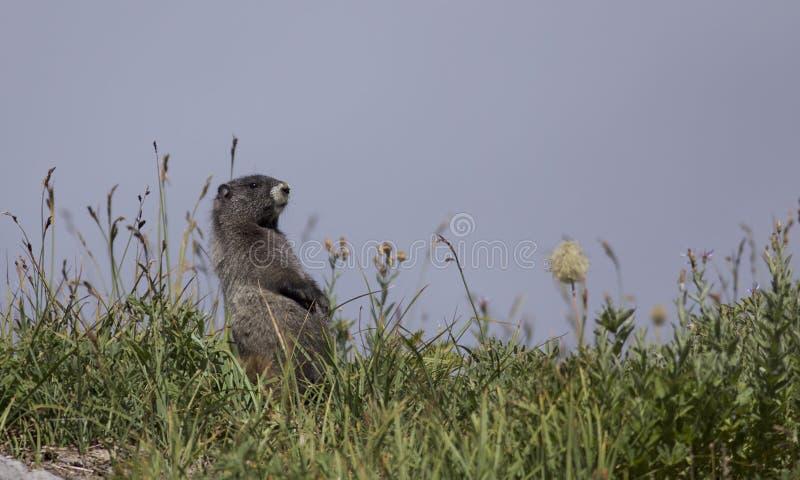 Grånad murmeldjur på mer regnig Mt arkivfoto