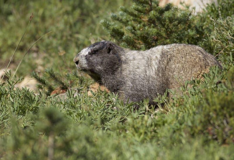 Grånad murmeldjur på mer regnig Mt arkivbilder