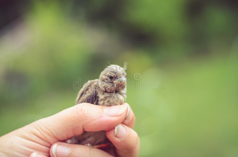 Gråsparv i mänsklig hand royaltyfri foto