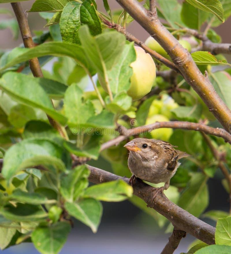 Gråsparv med äpplen arkivfoto