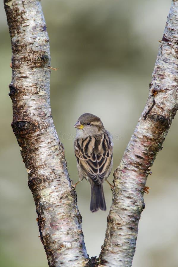 Gråsparv som sätta sig på delad trädfilial fotografering för bildbyråer