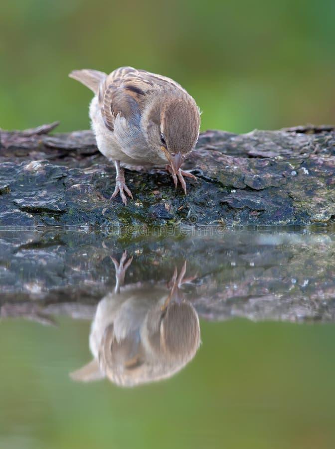 Gråsparv som ser reflexionsspegeleffekt royaltyfri fotografi