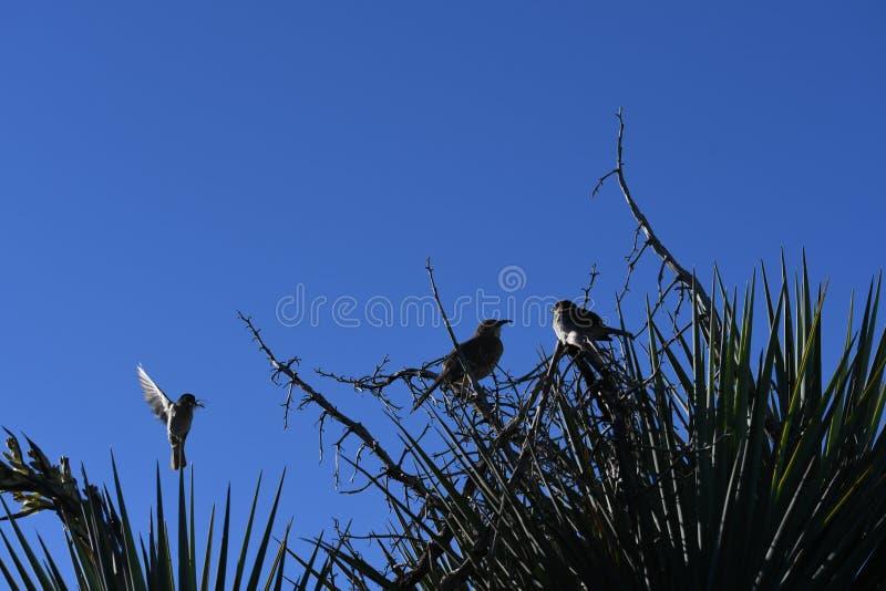 Gråsparvar på filial mot blå himmel - förbipasserandedomesticus royaltyfri bild