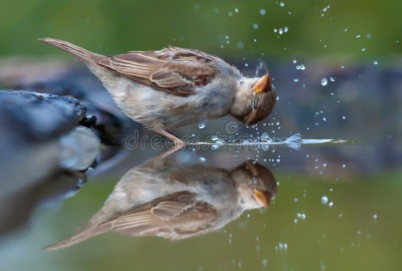 Gråsparven badar med lotten av klickar i spegeleffektvatten arkivbild
