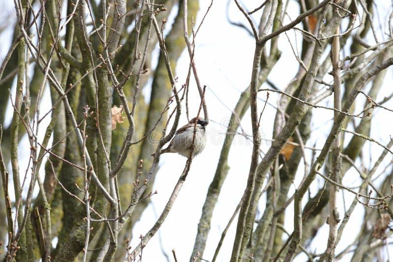 Gråsparvförbipasserandedomesticus i ett träd fotografering för bildbyråer