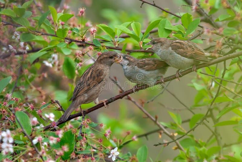 Gråsparvmamman matar hennes barn i körsbärsrött träd arkivbilder