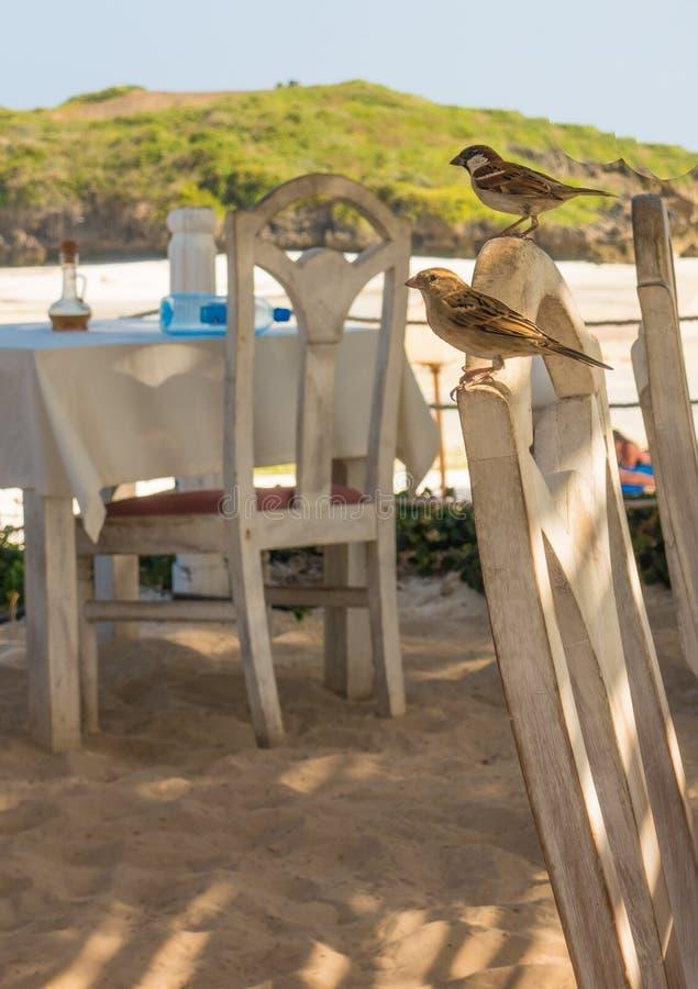 Gråsparvpar på den kenyanska strandrestaurangen arkivfoto