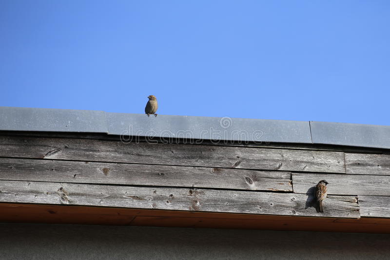 Gråsparvpar på taket royaltyfria foton