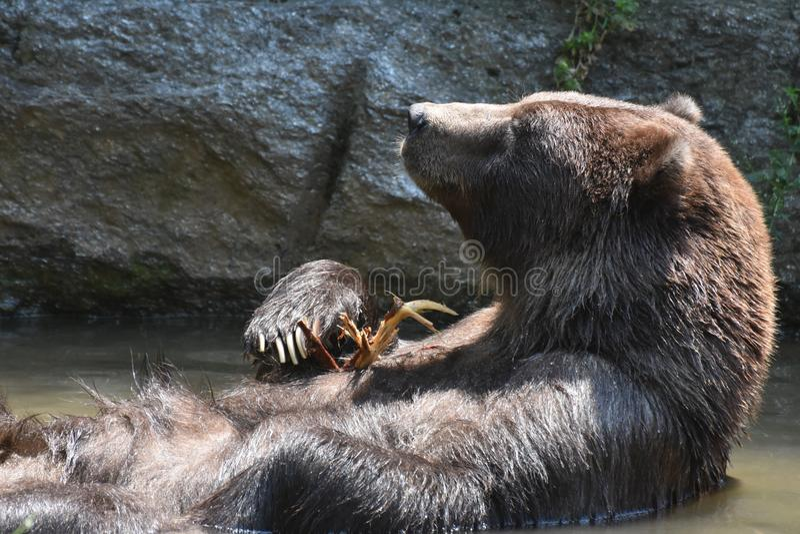 Gråsprängd vikning för brun Kodiak dess armar, medan sväva arkivbild