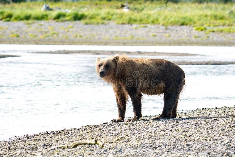 Gråsprängda sökanden för alaskabo kust- brunbjörn för fisk i en flod i den Katmai nationalparken som sitter på en sandbar fotografering för bildbyråer