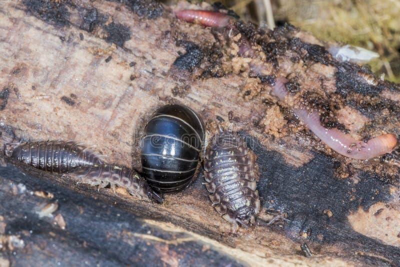 Gråsugga, pillbug, eller sowbug och daggmask på ett stycke av trä arkivfoton