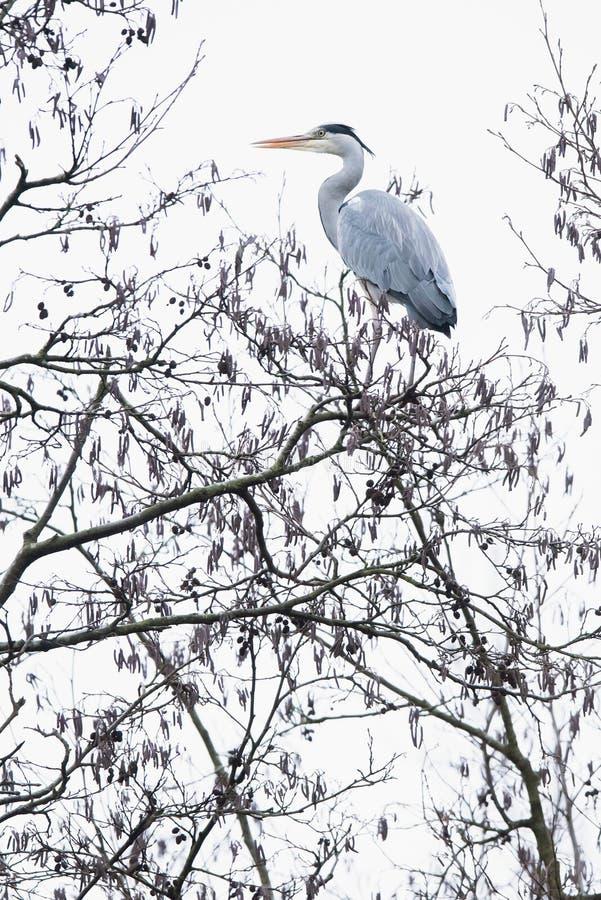 Grått cinerea för hägerArdea som högt sätta sig på filial upp träd arkivfoto