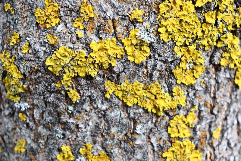 Grått diskret skäll av ett vårträd som täckas med ljusa färger av mossa och laven arkivbild