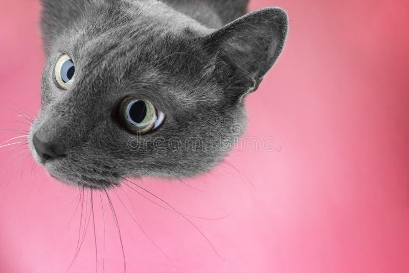 Grått kattsammanträde på den rosa bakgrunden arkivbild