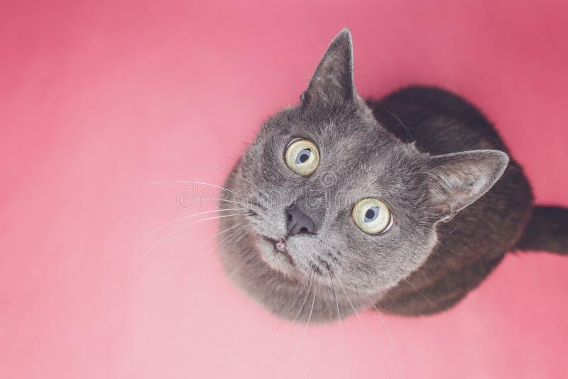 Grått kattsammanträde på den rosa bakgrunden arkivfoto