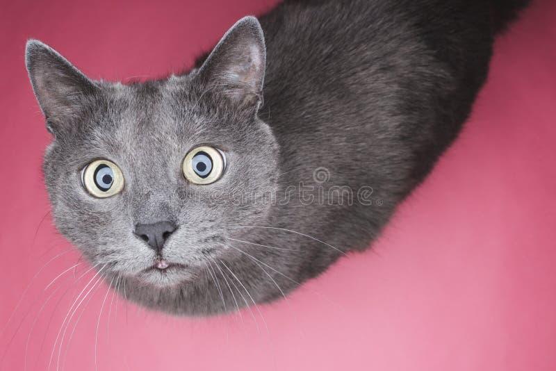 Grått kattsammanträde på den rosa bakgrunden royaltyfria bilder