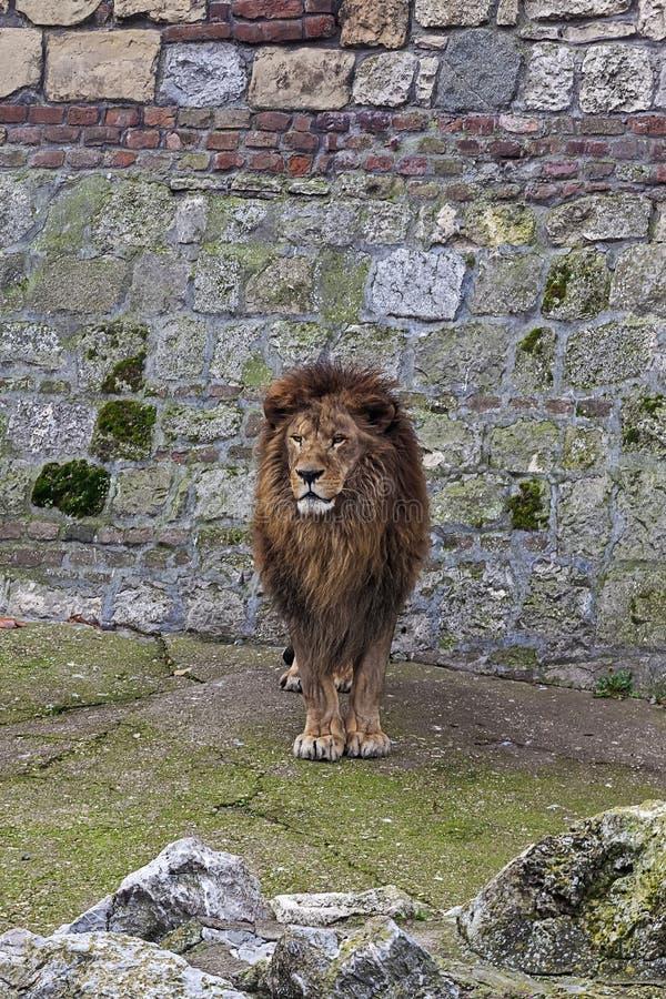 Grått lejon 2 arkivfoton