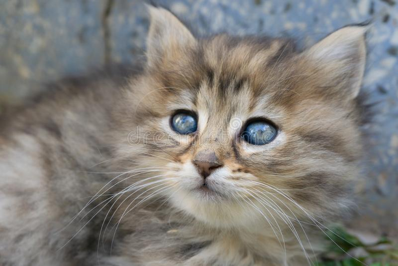 Grått och brunt gulligt kattungehuvud med blåa ögon Slut upp st?enden f?r strimmig kattkatt Gatakatt och livsstilbegrepp arkivfoto