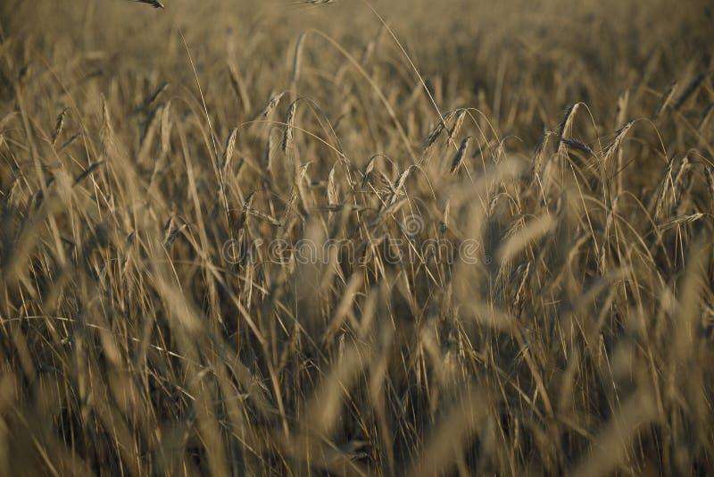 Grått rågfält fotografering för bildbyråer