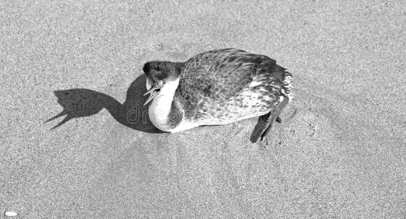 Grèbe occidental poussant des cris rauques sur la plage la Californie Etats-Unis de Ventura - noirs et blancs photographie stock libre de droits