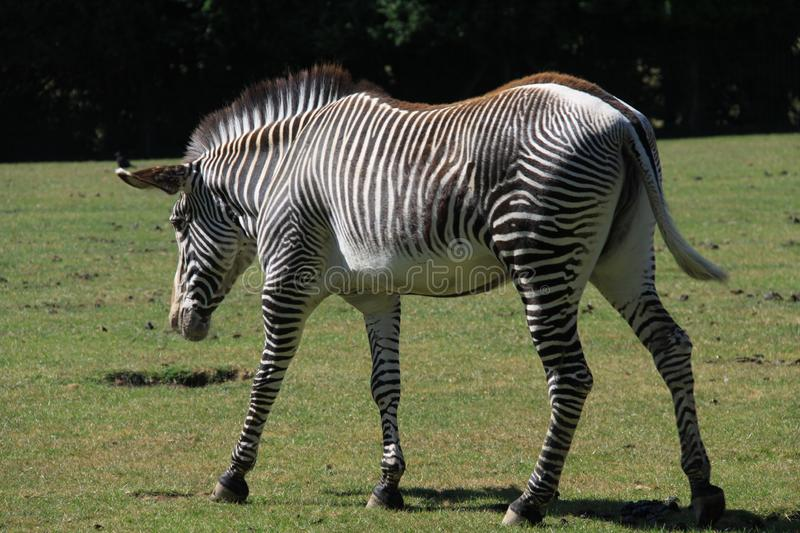 Grévy`s zebra at Marwell Zoo. The Grévy`s zebra, also known as the imperial zebra, is the largest living wild equid and the largest and most threatened of royalty free stock image