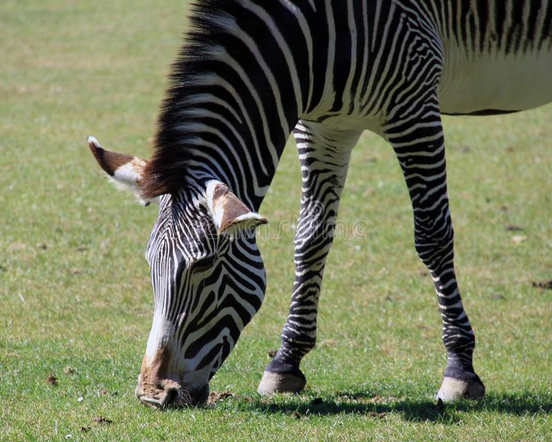 Grévy`s zebra. The Grévy`s zebra, also known as the imperial zebra, is the largest living wild equid and the largest and most threatened of the three stock photos