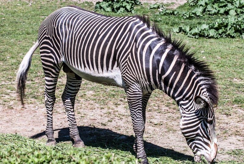 Grévy`s zebra animals feeding on grass. Grévy`s zebra imperial zebra animals feeding on grass royalty free stock photos