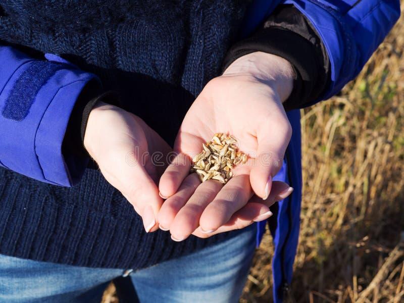 Grões do trigo na palma fêmea no fundo do campo de trigo fotografia de stock