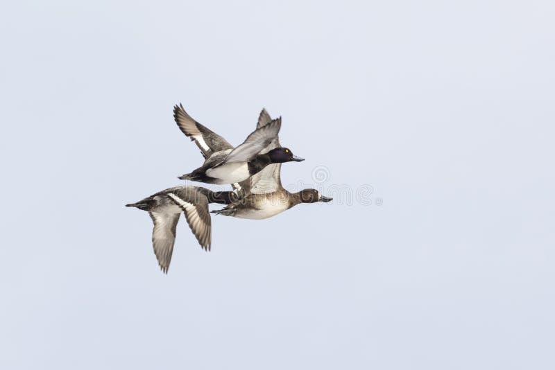 Größere Bergenten-Ente lizenzfreies stockbild