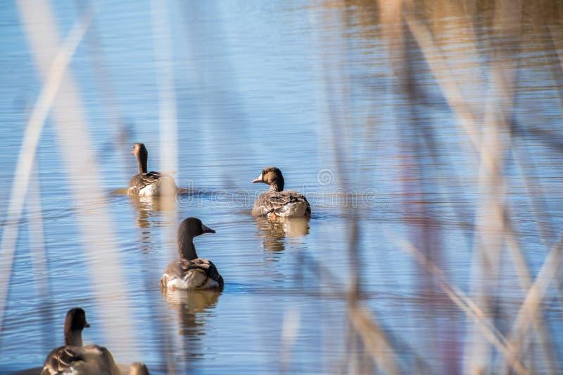 Größere Weiß-konfrontierte Gänse Anser albifrons, die in einem Teich schwimmen stockfoto