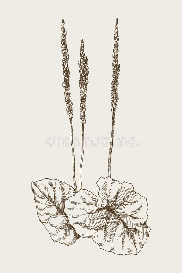 Größerer Bananen- oder Plantagomajor Botanische gravierte Illustration der Weinlese ENV 10 stock abbildung