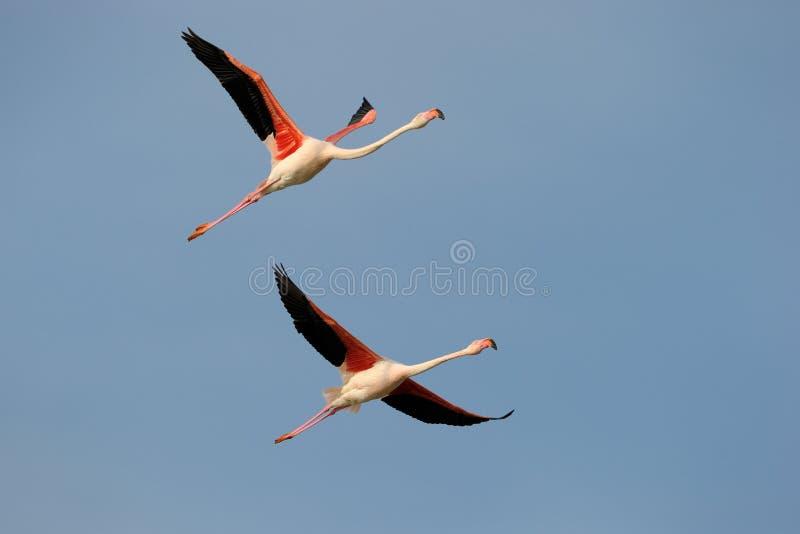 Größerer Flamingo stockfoto