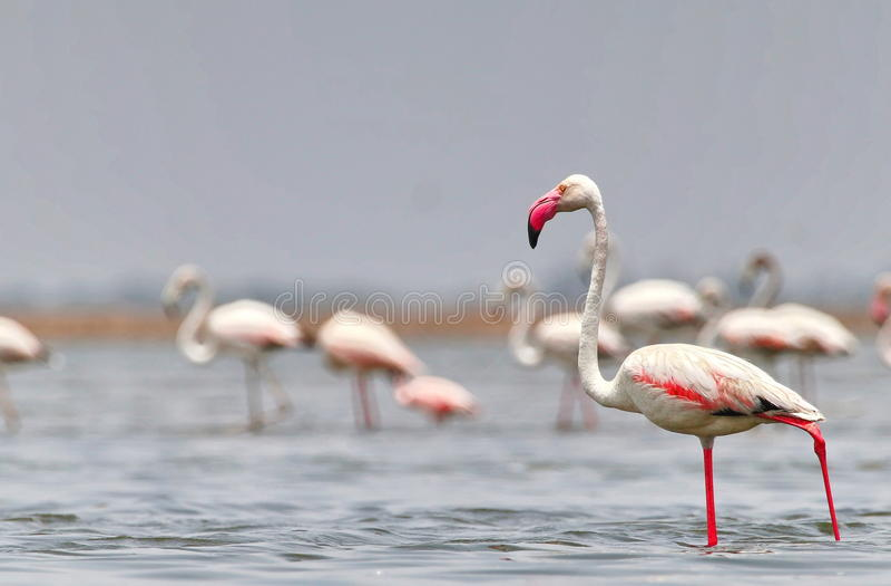 Größerer Flamingo lizenzfreie stockfotografie