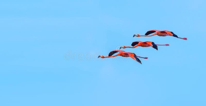 Größerer Flamingo lizenzfreies stockfoto