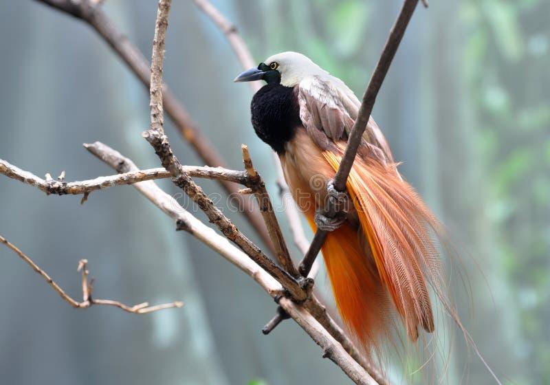Größerer Vogel-vonparadiesmann, der schönes Gefieder anzeigt stockfotos