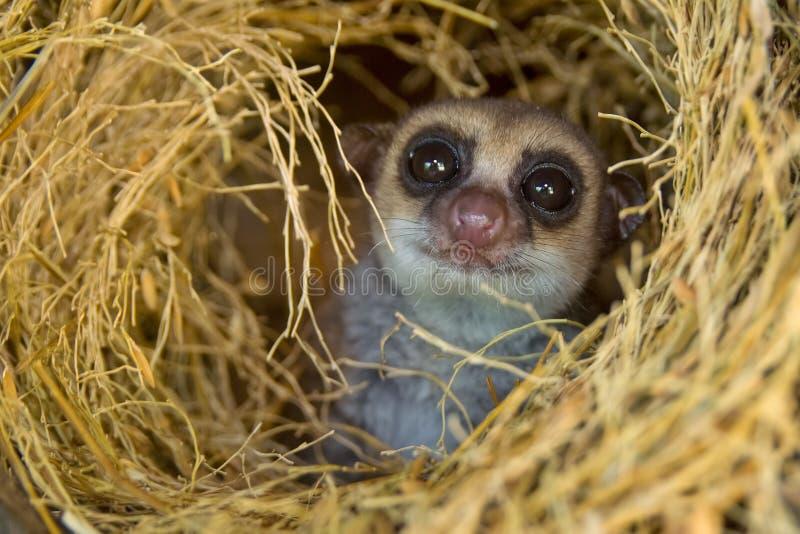 Größerer zwergartiger Lemur lizenzfreie stockbilder