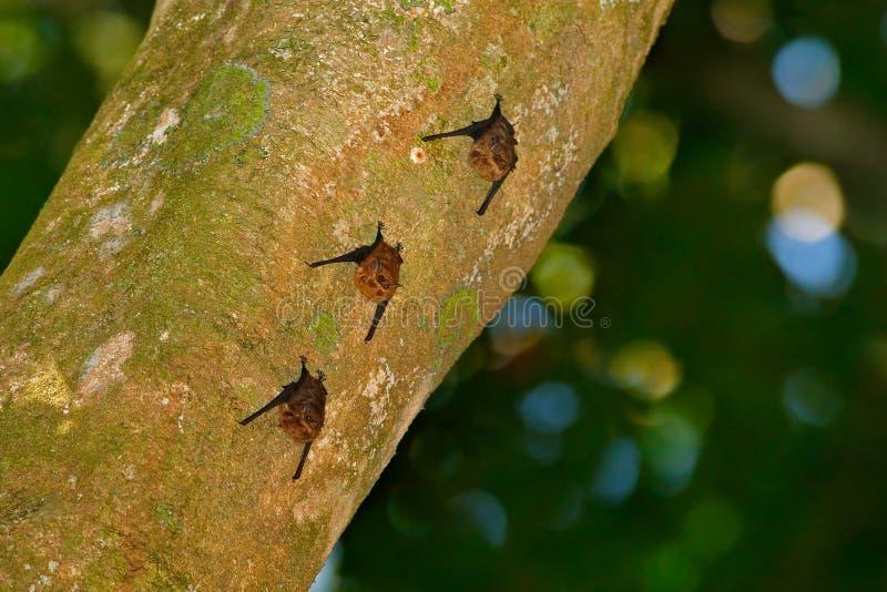 Größeres Beutel-geflügeltes weiß-gesäumtes Schläger Saccopteryx-bilineata, Familie Emballonuridae-Eingeborener zu zentralem und S stockfoto