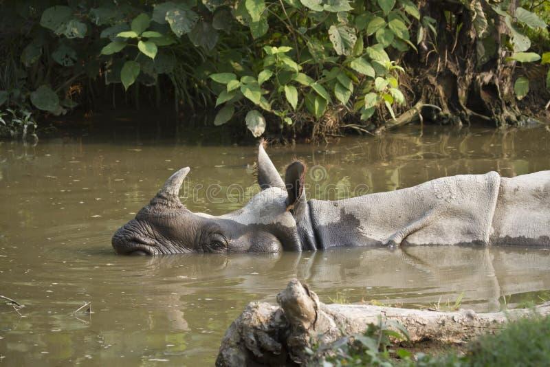 Größeres ein-gehörntes Nashorn in Nepal stockbild