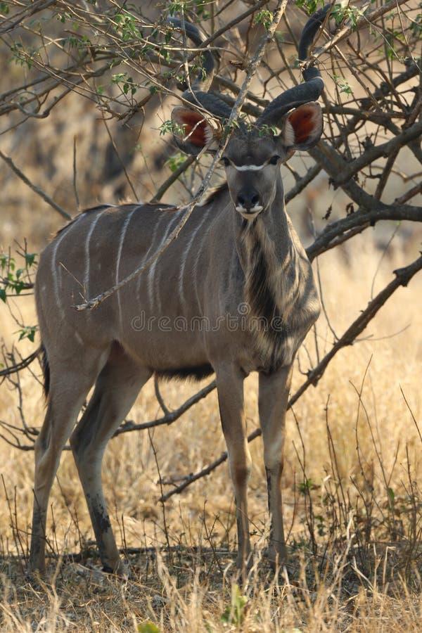 Größeres Kudu stockfotografie