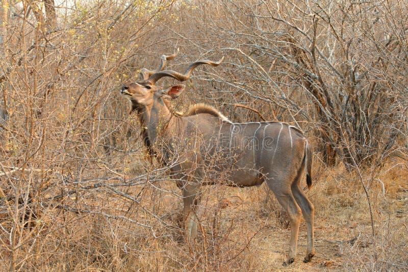 Größeres Kudu lizenzfreie stockfotografie