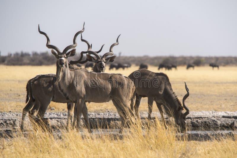 Größeres Kudu an einem waterhole stockfoto