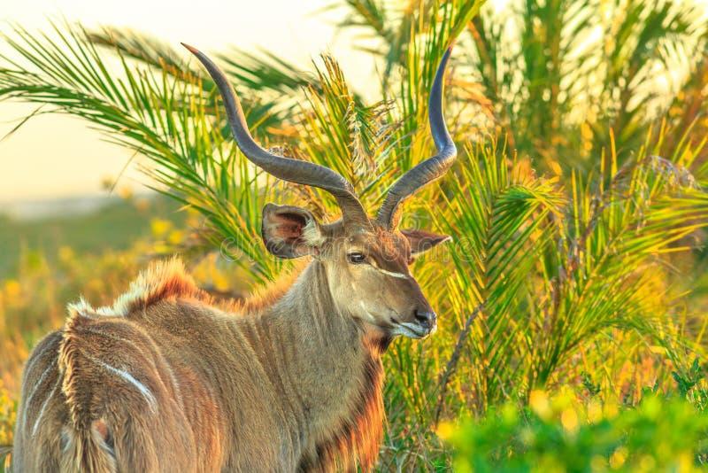 Größeres kudu am iSimangaliso stockfoto