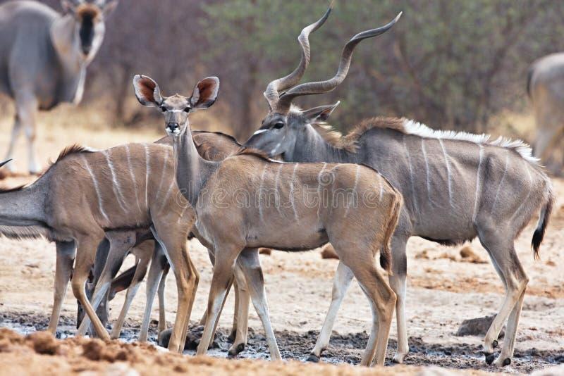 Größeres kudu, Tragelaphus Strepsiceros, am waterhole Bwabwata, Namibia lizenzfreie stockfotografie