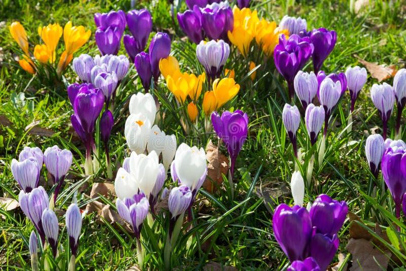 Grön äng mycket av violeten, guling, vita krokusar, krokussati royaltyfri foto