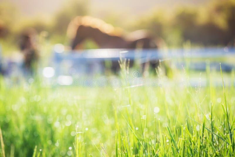 Grön äng och gräs med morgondagg på förgrund och hästar i stall som bakgrund med guld- solljus royaltyfri fotografi